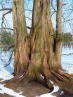 sequoia-93612_1280.jpg